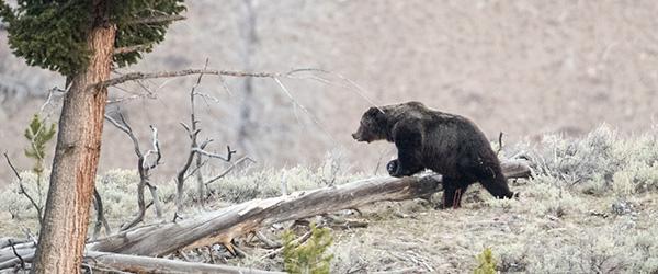 Grizzly crosses landscape