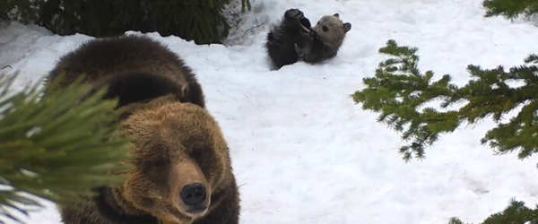 A remote camera capture showing a grizzly bear sow and one cub in the snow, at one of Idaho Fish and Game's collared female grizzly bear den sites, where they are monitoring reproduction