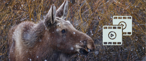 Close-up of a young moose looking to the right with light snow falling