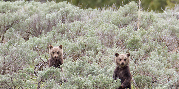 Two grizzly bear cubs standing in vegetation looking toward the photographer