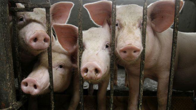 Pigs_in_Pen_Reuters_Jan_31_2013_(1).jpg