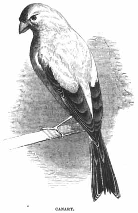 Canary_-_Project_Gutenberg_eBook_11921.jpg