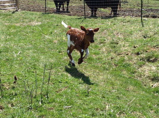 cows_and_kids_sara_sm_(39).jpg