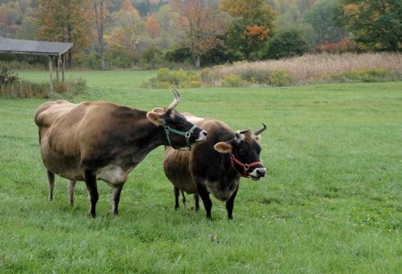 cows_radhe_chint_sm.jpg