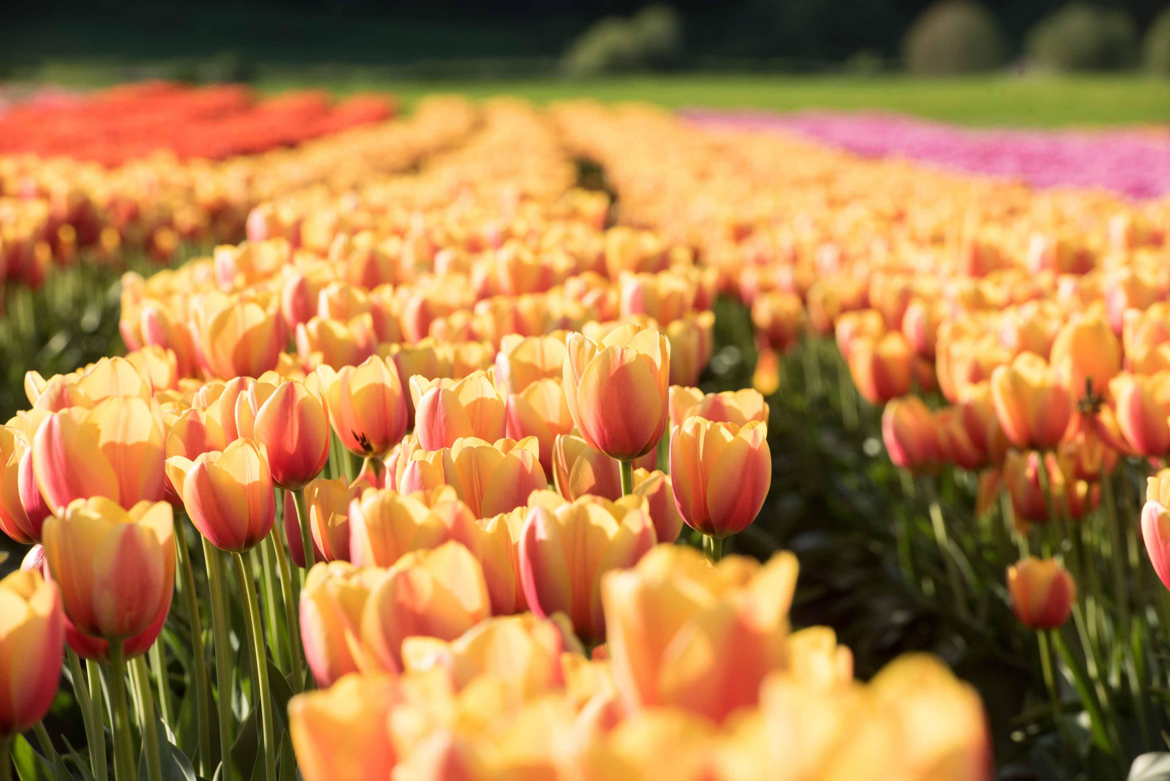 Alexis Abby Tulip Fest 0005