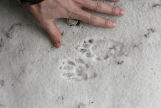raccoon_tracks.jpg
