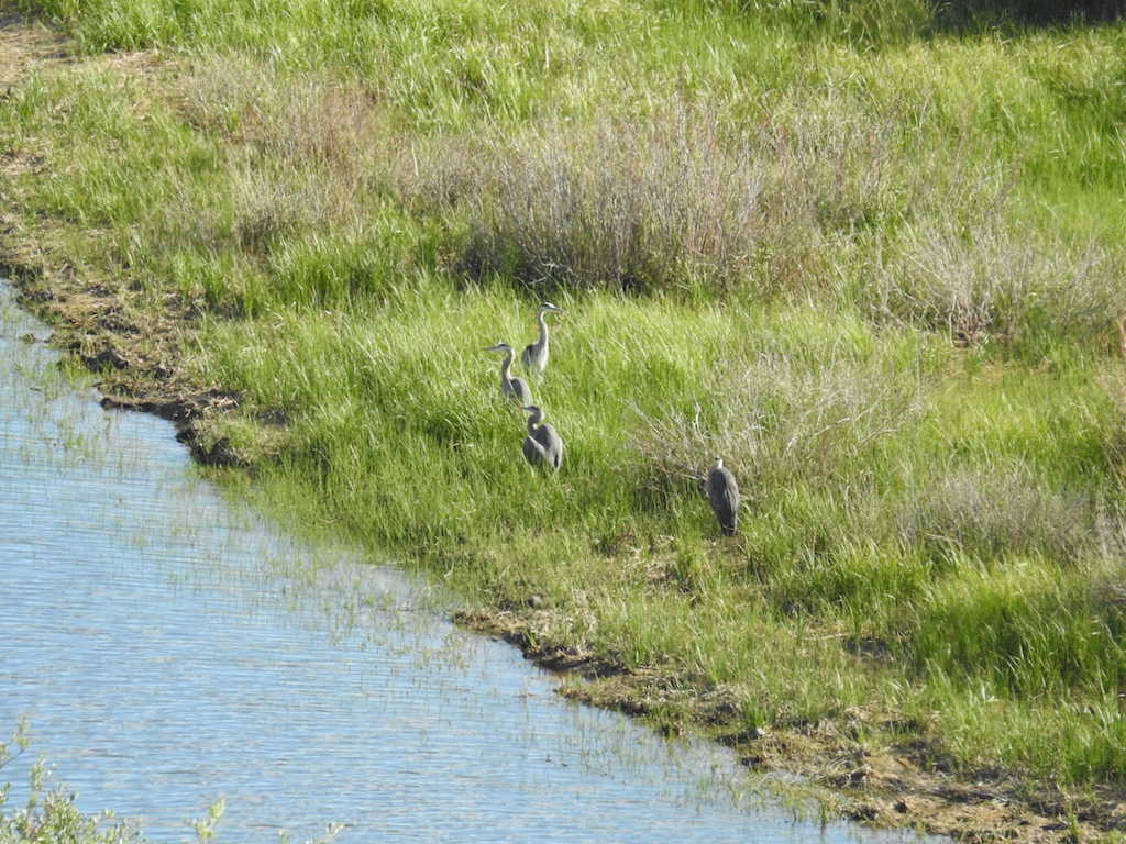 _9_Weaselhead-Great_Blue_Heron-Sensitive_Status_AB-Feed-Opportunistic_feeder_including_fish.jpg