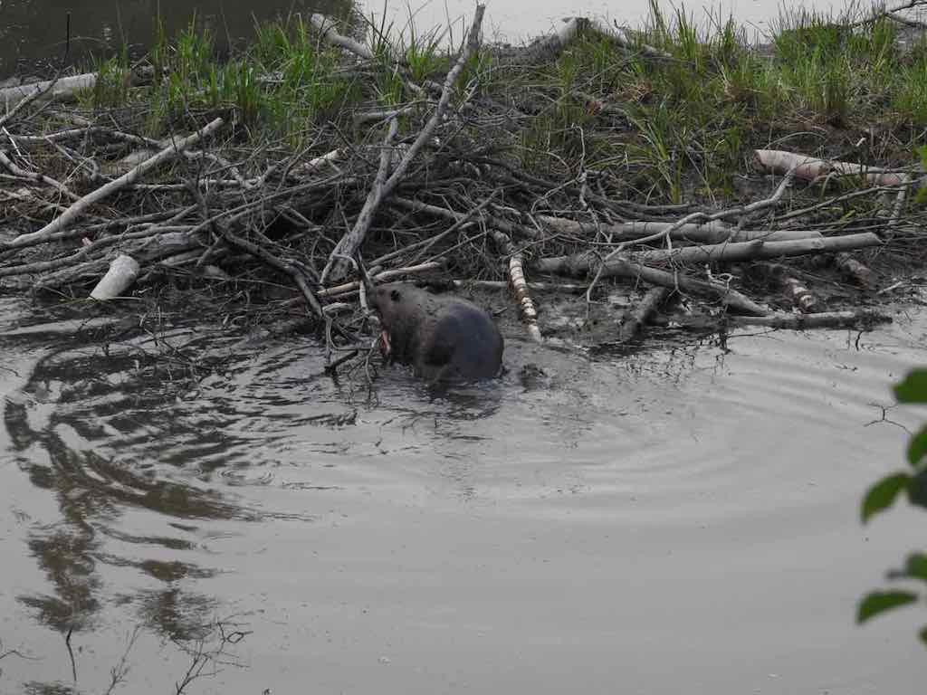 13-SWCRR-TUC-Weaselhead-_Beaver_In_Beaver_Pond_A_Aug_3_2017.jpg