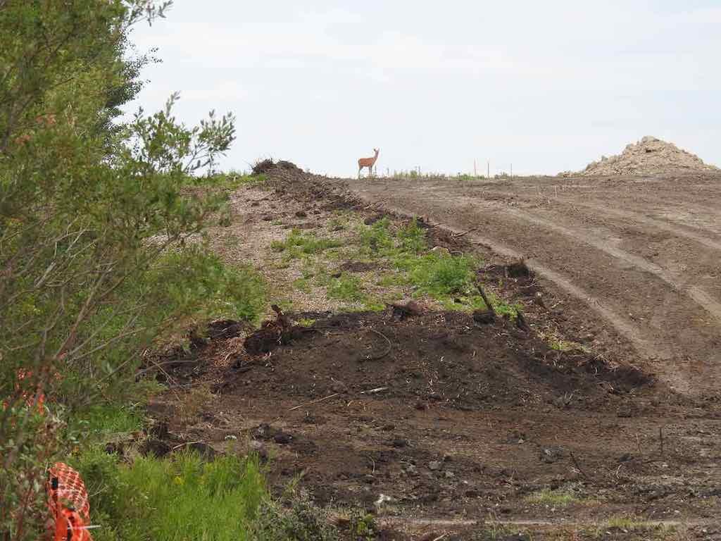 16_SWCRR-TUC-Weaselhead---Deer_on_Road_Construction_South_of_Beaver_Pond-Habitat_Fragmentation_Aug_9_2017.jpg