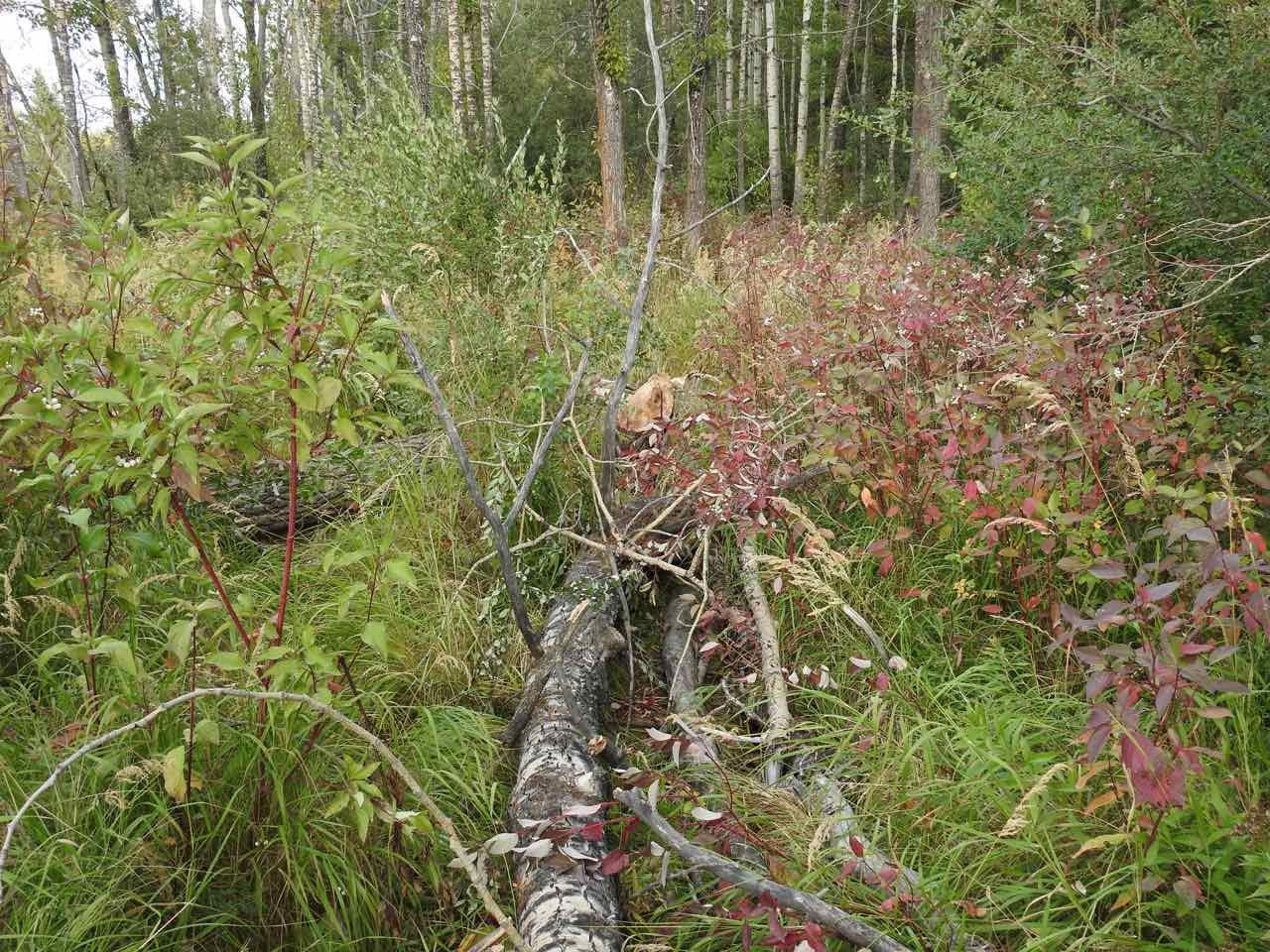 -Beaver_Pond-East_End-Beaver_Seeking_To_Dam_Further_Upstream_On_WC01-Tree_Fall_B1_Sept_16_2017.jpg