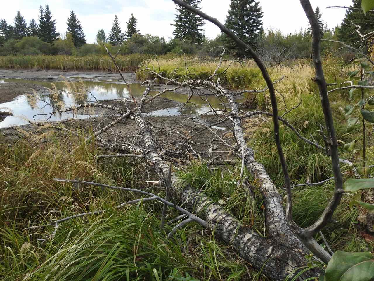 -Beaver_Pond-East_End-Beaver_Seeking_To_Dam_Further_Upstream_On_WC01-Tree_Fall_B2_Sept_16_2017.jpg