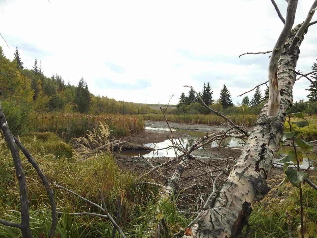 -Beaver_Pond-East_End-Beaver_Seeking_To_Dam_Further_Upstream_ON_WC01-Tree_Fall_B3_Sept_16_2017.jpg