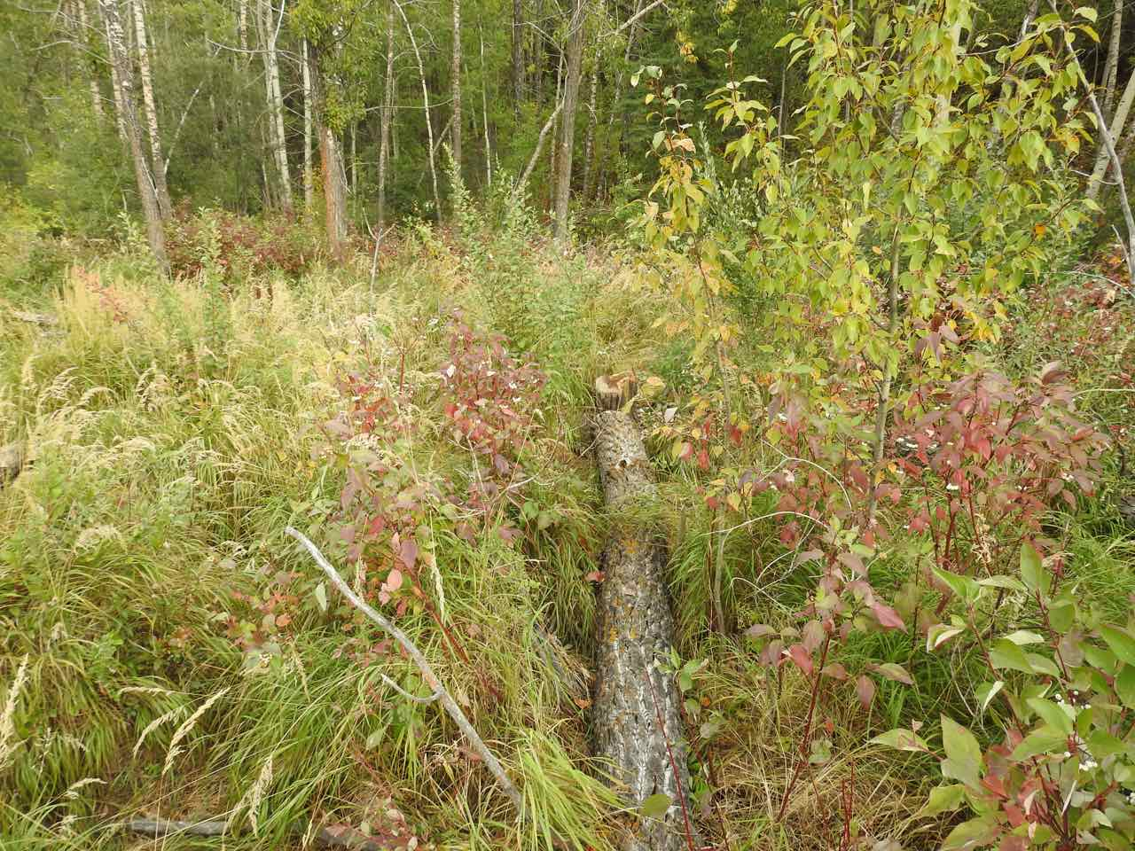 -Beaver_Pond-East_End-Beaver_Seeking_To_Dam_Further_Upstream_On_WC01-Tree_Fall_C_Sept_16_2017.jpg